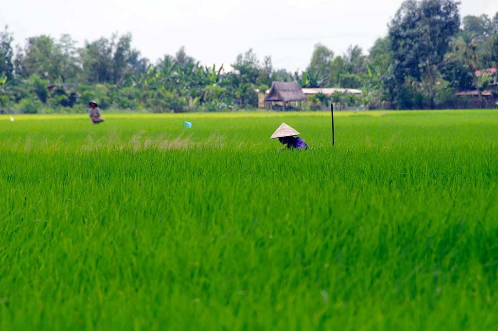 Rizières, Province de Long An, Vietnam
